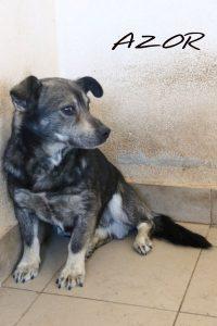 adpocja psa azor